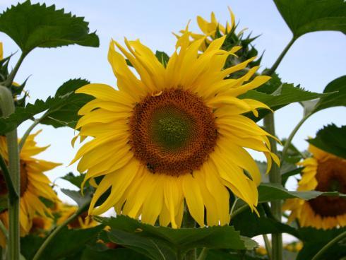 Bild garten.ch: Neophyt Sonnenblume, überall gerne gesehen. Mit dem Temparaturanstieg im Winter überleben die Samen. Es ist eine Frage der Zeit bis sie verwildern.