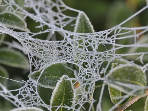 Bild garten.ch: Duftblüte Osmanthus burkwoodi mit Spinnweben