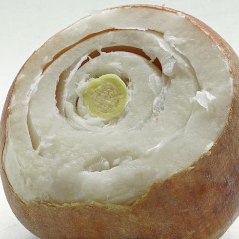 Bild fluwel.de: Welche Grösse der Tulpenzwiebeln verfügt im Herbst über eine Blüte? Ein Schnitt durch die Zwiebel schafft Klarheit.