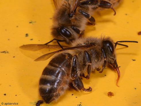 Bild apiservice: Vergiftete Bienen auf dem Flugbrett  beim BGD