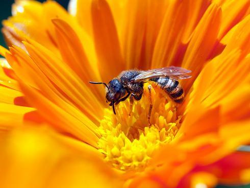 Wildbienen sind ebenfalls effiziente Bestäuber (Gabriela Brändle, Agroscope)