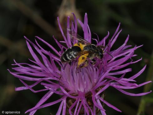 Bild apiservice: gleichermassen betroffen Wildbienen