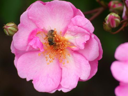 Bild BGL: Wilde Rosen bieten Insekten einen unversperrten Zugang zu schmackhaften Nahrung.
