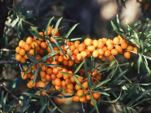 Bild GMH/GBV: Das schmeckt nicht nur Menschen: Wer Beeren tragende Sträucher und Bäume anpflanzt – wie diesen Sanddorn – schafft ein Futterangebot für Wildtiere.