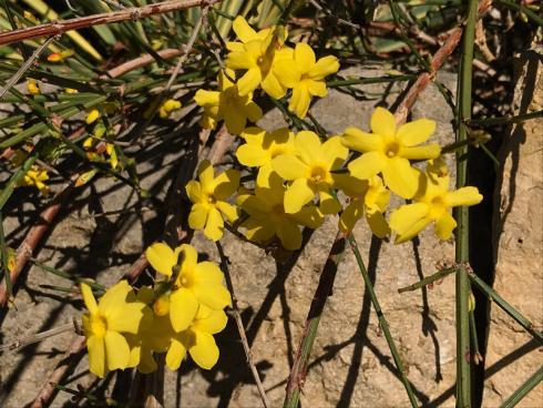 Bild garten.ch: Der Winterjasmin weckt mit seinen intensiven Blütenfarben, die jedem Frost und jeder Kälte trotzen schon fast etwas an den Sommer.