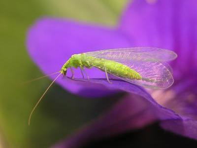 Florfliegen sind im Frühjahr auf Pollen von Bäumen angewiesen, die als erste blühen (Mario Waldburger, Agroscope)