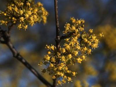 Die Kornelkirsche (Cornus mas) eignet sich dank ihrer gelben Blüten im Frühjahr nach dem Laubaustrieb nicht nur als wertvolles Wildgehölz, sondern ist auch eine Zierde im Garten. (Bildnachweis: GMH/GBV)