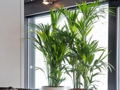 Kentia Indoor Palme