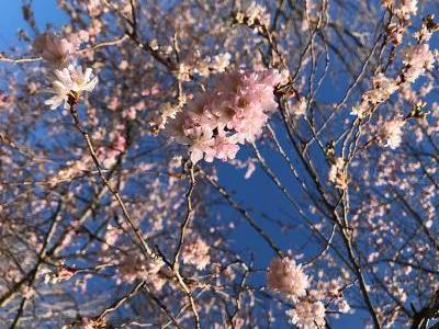 Bild garten.ch: Kirschblüte