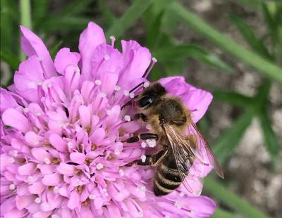 Bild garten.ch: Biene auf Skabiose