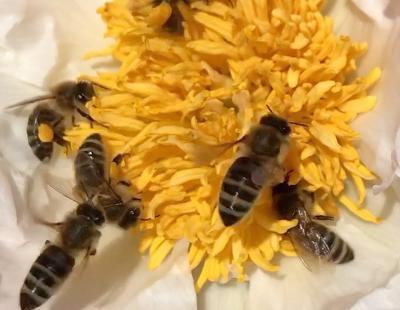 Bild garten.ch: Honigbienen auf Pfingstrose
