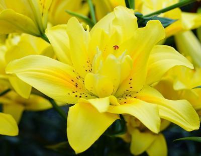 Foto: fluwel.de. - Die leuchtend gelbe 'Fata Morgana' bringt mit ihrer gefüllten, offenen und lockeren Blüte Romantik in den Garten.