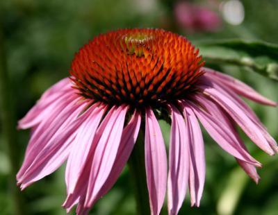 Bild garten.ch: roter Sonnenhut Echinacea purpurea