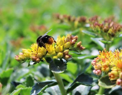 Bild GMH/Gärtnerei Viehweg: Auch bei Insekten beliebt: Fetthennen (Sedum) brauchen we-nig Wasser, sind ausgesprochen pflegeleicht und bilden attraktive Blüten.