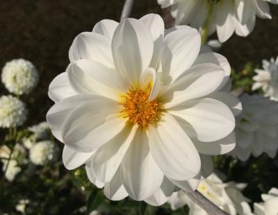 Bild garten.ch: einfache Dahlienblüte