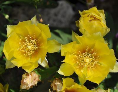 Bild garten.ch: Opuntia humifusa steht auf der Watchlist