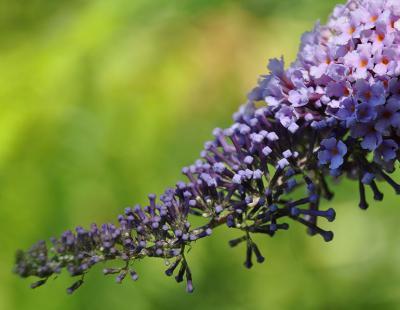 Bild garten.ch: Invasive Neophyten, Sommerflieder