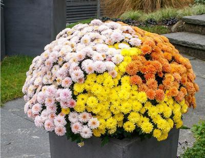 Bild Picturegarden Rohner: Die klassischen Garden-Mums eignen sich besonders gut als Türwächter, da sie eine enorme Fernwirkung garantieren.