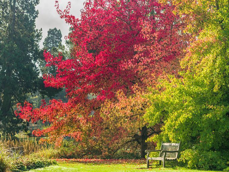 Bild: Cambridge University Botanic Garden - Liquidambar