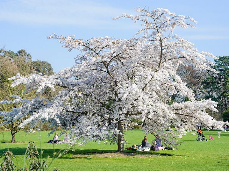 Bild: Cambridge University Botanic Garden - yoshino cherry tree
