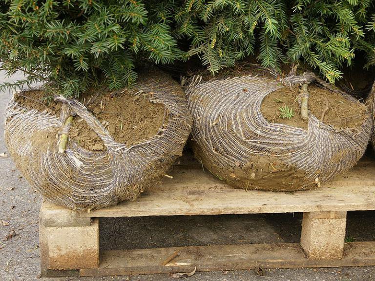 Ballenpflanzen Bauer Baumschulen