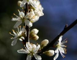 Bild garten.ch: Aprikosenblüte