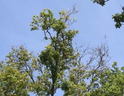Bild garten.ch: Astabwurf bei Bäumen unter Trockenstress