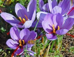 Bild fluwel.de: Der Crocus sativus blüht von Mitte Oktober bis Ende November in einem zarten Violett. Seine roten Narben sind das wertvolle, würzige Safran.