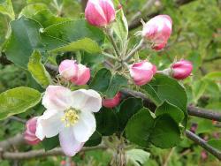 Apfelvielfalt in Mostindien