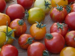 Bild: ProSpecieRara Tomatenvielfalt