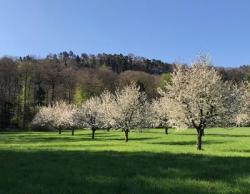 Bild garten.ch Kirschblüte Basel-Landschaft