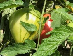 Bild garten.ch: Symbolbild Tomate